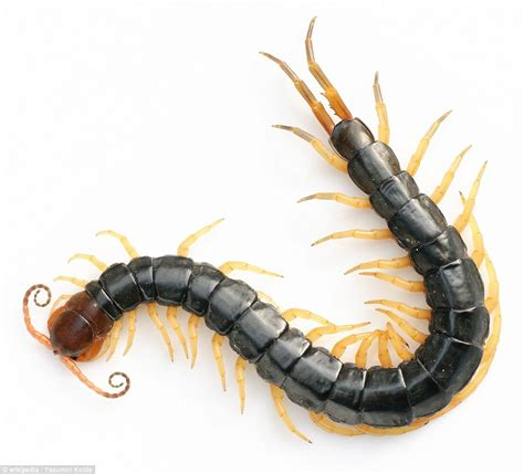 Amazonian giant centipede out mouse hunting jpg 962x872