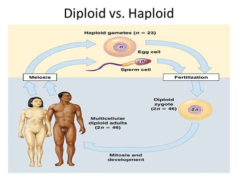 Why must sex cells be haploid jpg 960x720